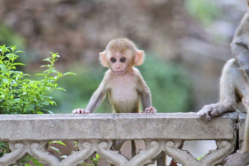 monkey-3231956_1280
