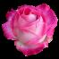 rose-3192610_1920